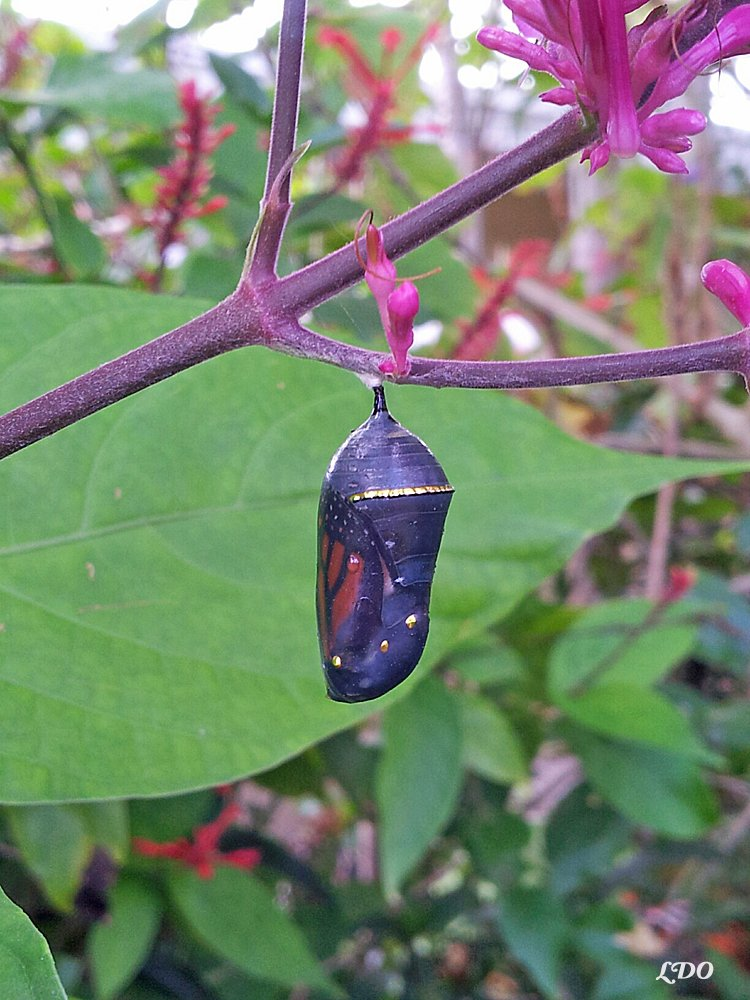 2f1a6b5e1dc Where to Find a Monarch Chrysalis in Your Yard Idea 7  Garden Plants