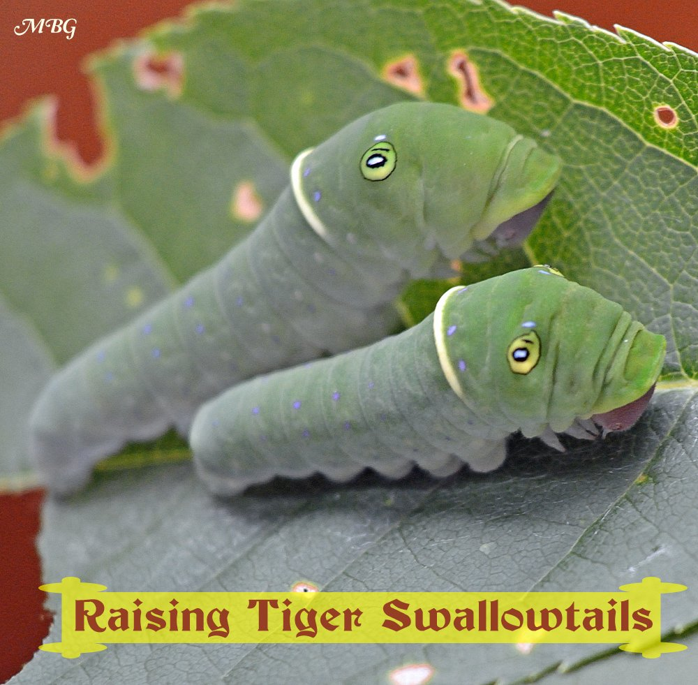 Raising the Eastern Tiger Swallowtail Butterfly- A Photographic Adventure from Swallowtail Egg to Butterfly