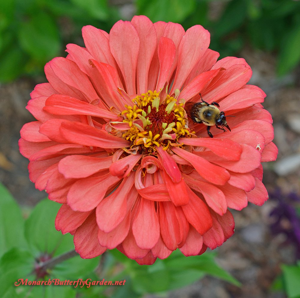 Benary's Giant Zinnias are a Favorite Zinnia Flower for both Butterflies and Bees- Big Zinnia Ideas for a Busy Butterfly Garden