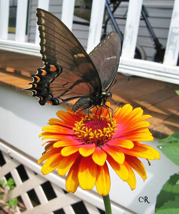 Eastern Tiger Swallowtails and Monarchs are both frequent visitors to the vibrantly colored Zowie Yellow Flame Zinnia. Get more info on growing this annual in your garden...
