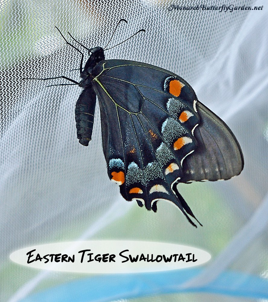 Raising Swallowtails- it's believed that some eastern tiger swallowtails are created in dark form to mimic the poisonous pipevine swallowtail butterfly. On some dark form butterflies, you can clearly see the tiger markings under the dark cloak when unveiled by the bright sun.