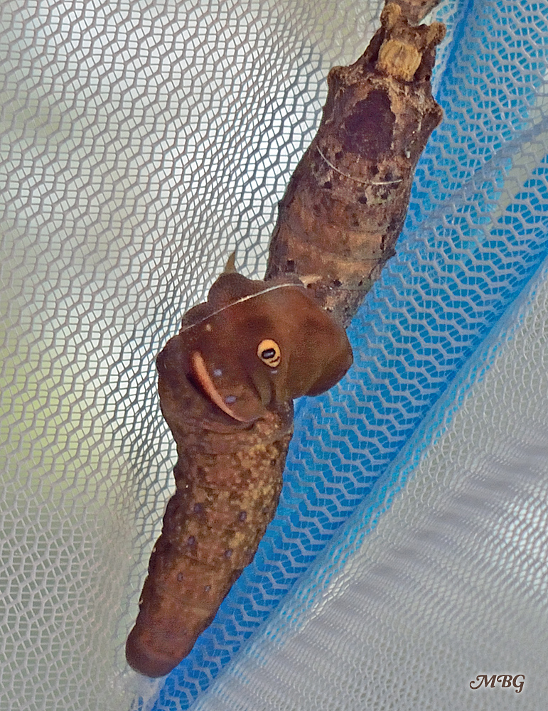 This tiger swallowtail caterpillar attached himself to the bottom of another chrysalis. Thankfully, this did not cause any issues for the emerging butterflies- Raising Eastern Tiger Swallowtails