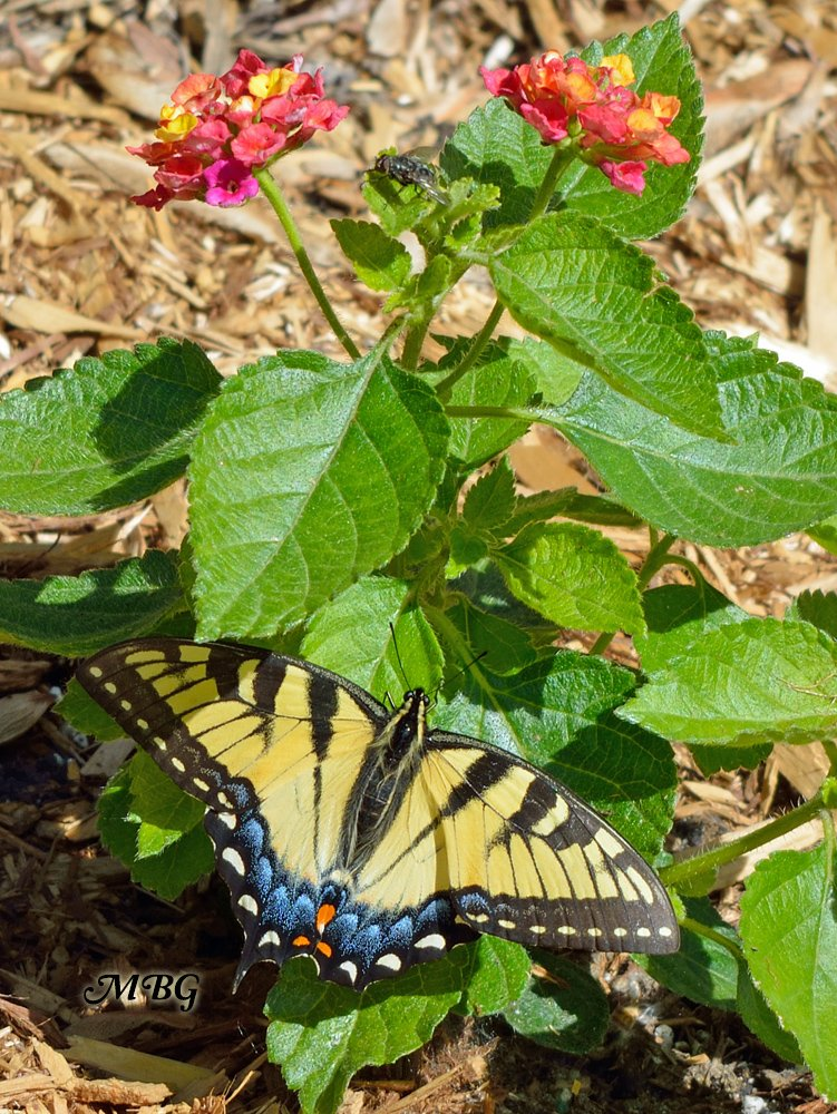 Eastern Tiger Swallowtail can be distinguished from the males by the blue coloration of the bottom of their hindwings