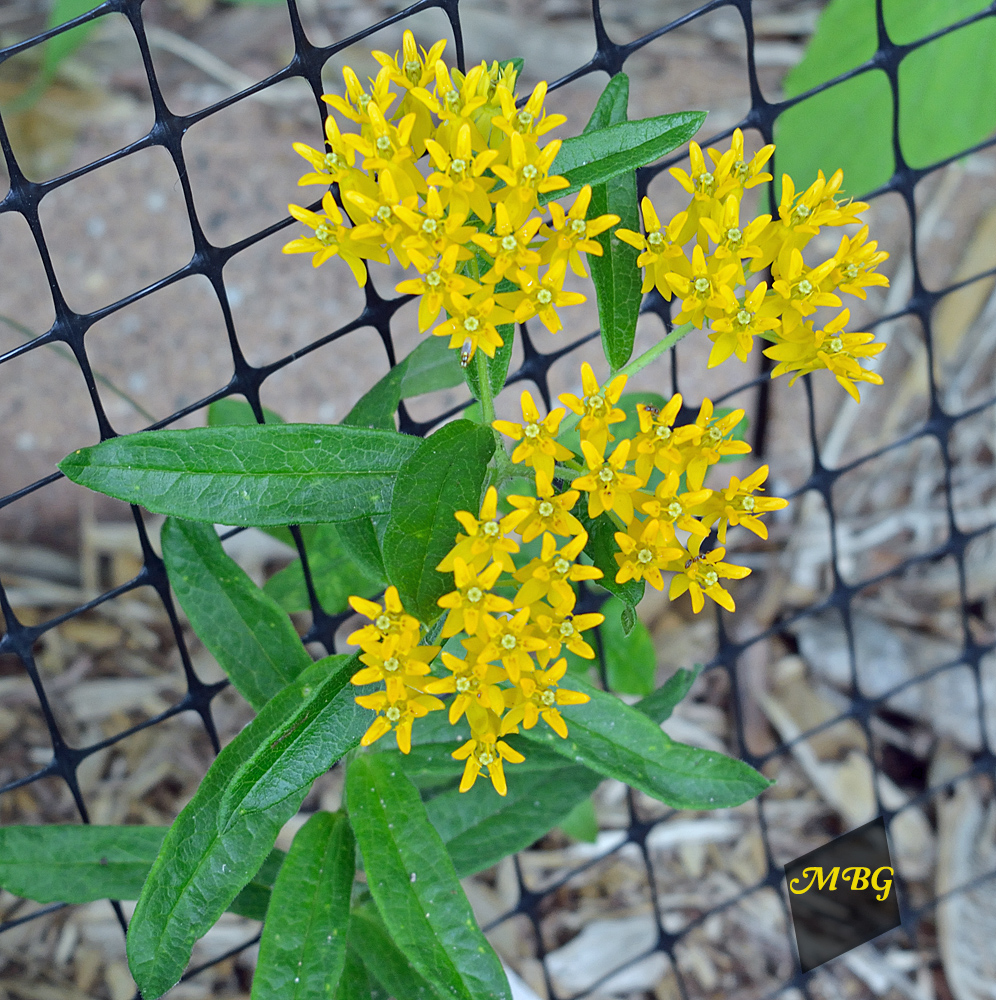 'Hello Yellow' Butterfly Weed is a Milkweed Variety with Bright Yellow Blooms that give your garden a Sunnier Outlook. It's also a host plant for munching monarch caterpillars.