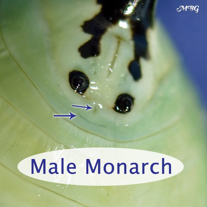How can you tell the sex of a monarch by looking at its chrysalis? Learn how to sex monarch chrysalides and butterflies.