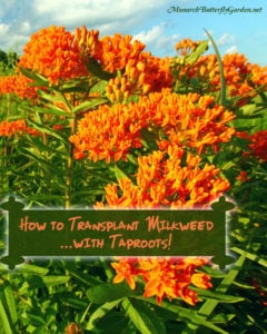 8 Helpful Tips for How to Transplant Milkweed Plants...with taproots!