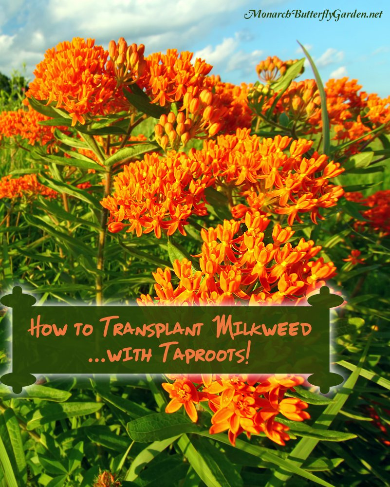 There once was a time when trying to transplant milkweed with long taproots meant certain death. Follow these 8 tips when transplanting, and watch your transplants not only survive...but thrive for monarch butterflies!