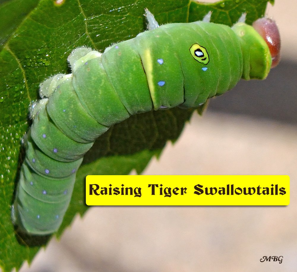 Raising Tiger Swallowtail Butterflies- instar 5 eastern tiger swallowtail caterpillars finally show some serious growth in this final period of caterpillar development