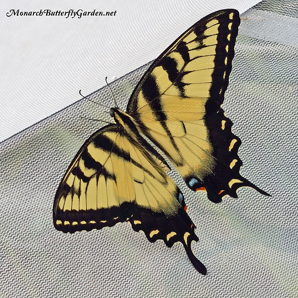 Raising Eastern Tiger Swallowtails- an eastern tiger swallowtail male sun dries in his cage outside before being released back to nature