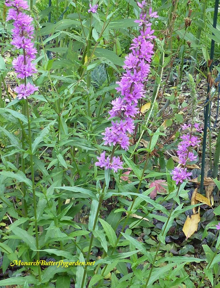 Mystery milkweed impostors plant identification help for Purple flowering shrubs identification