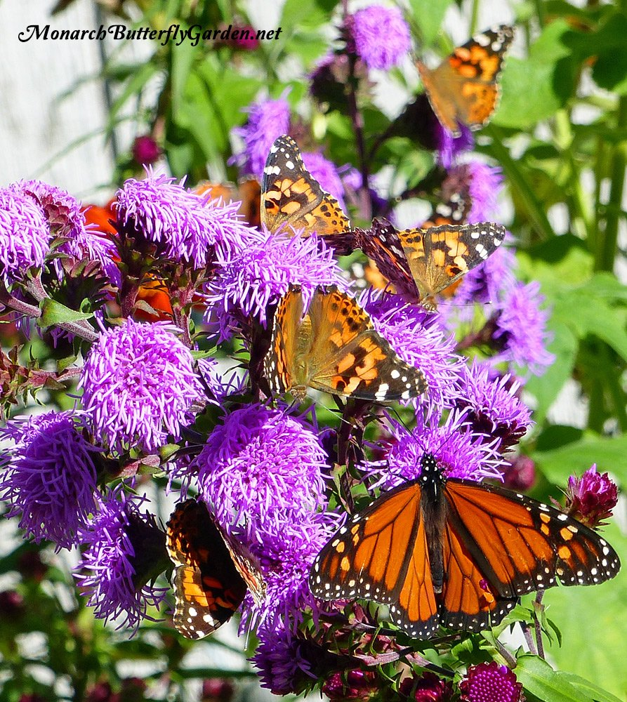 Liatris scariosa has proven to be one of the best purple butterfly flowers in our garden. See if it's a good choice to support butterfly life in yours...