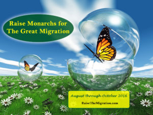 Raise Monarch Migration Butterflies