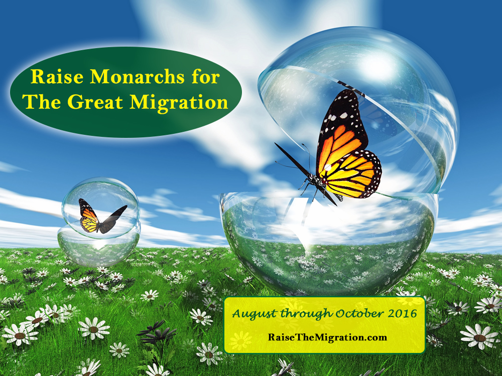 Learn How To Raise Monarch Butterflies to Release for the Magical Monarch Migration and Help Save Monarchs for Future Generations.
