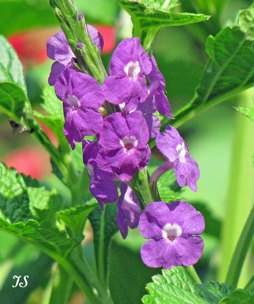 Stachytarpheta frantzii is a purple porterweed species that is reported to have superior powers of attraction for both butterflies and hummingbirds. Discover more purple butterfly flower favorites...