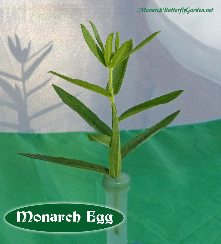 Use Milkweed Cuttings to keep milkweed fresh while waiting for monarch eggs to hatch. In fact, when you take monarch eggs on cuttings, you can raise the caterpillar on the smae cutting for up to a week!