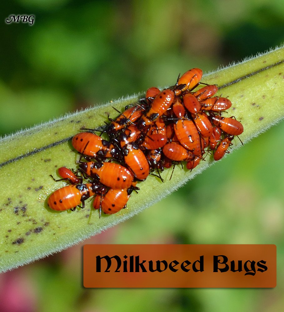 Milkweed Bugs eat milkweed and sometimes monarch eggs and small caterpillars. They also gather on seed pods sucking out valuable nutrients that can affect the germination rate of the seeds.