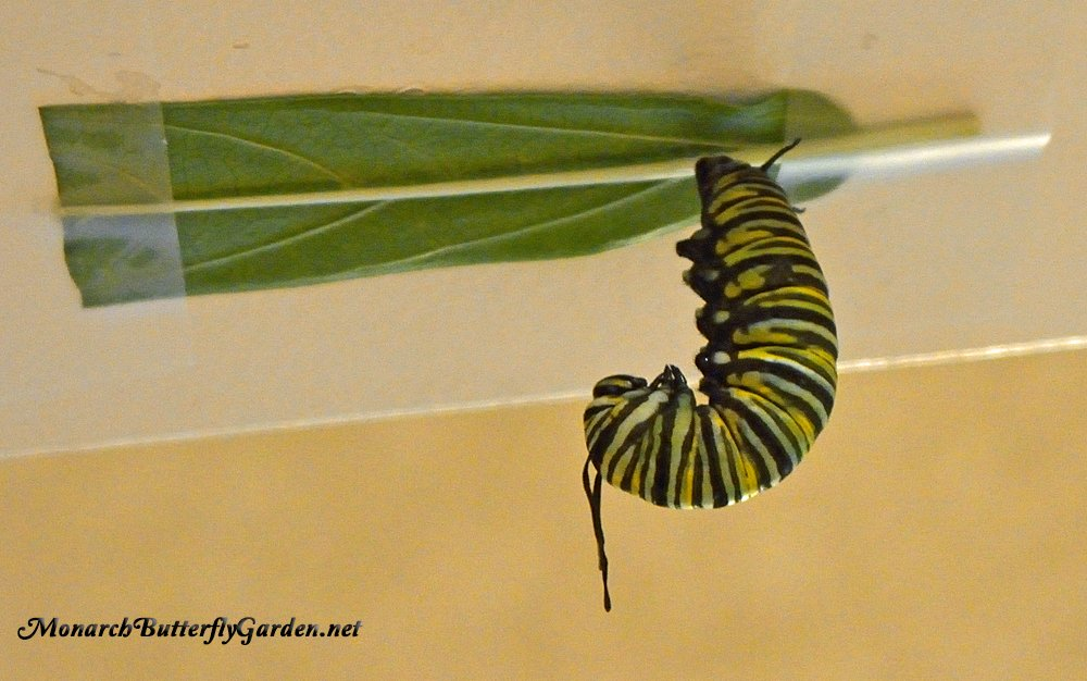 Raising Monarch butterflies- What can you do if a caterpillar decides to pupate on a milkweed leaf + other common chrysalis problems