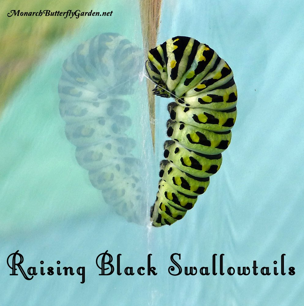 Black swallowtail caterpillars spin a silk girdle which allows them to lay back to form their chrysalis.