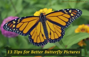 13 Butterfly Photography Tips for Better Butterfly Pictures