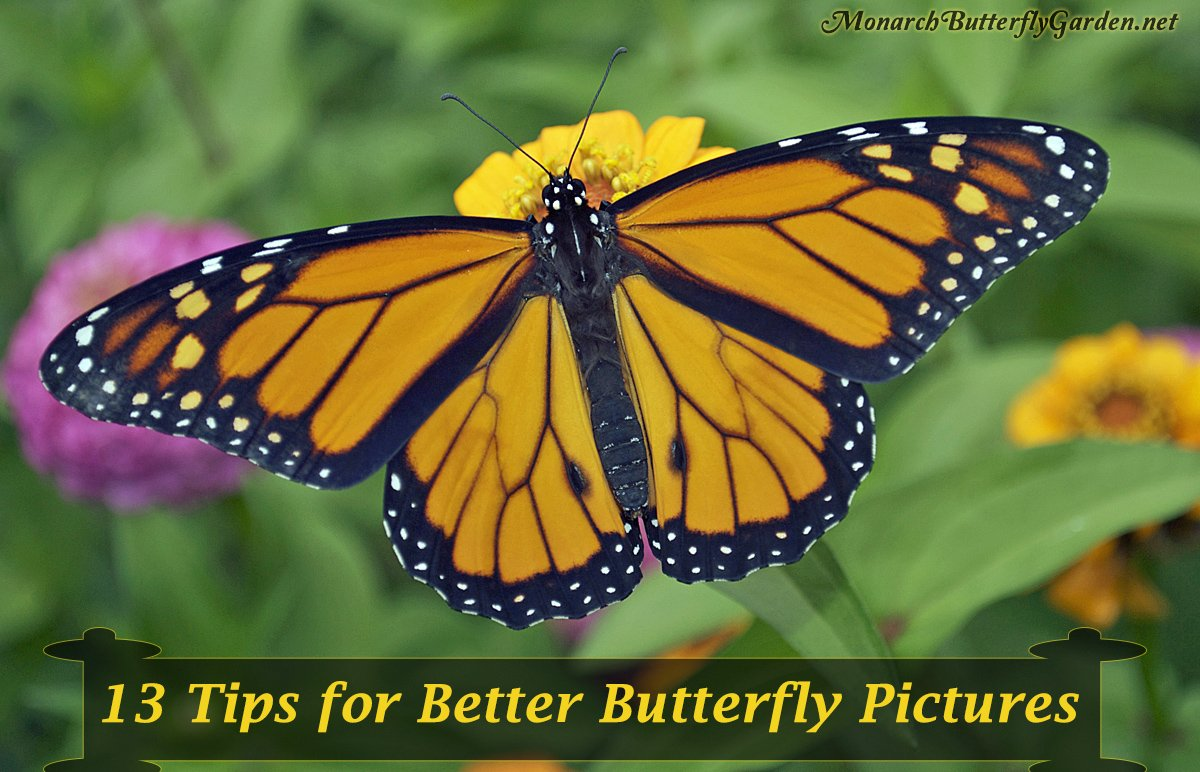 Thirteen ideas to help take your butterfly photography to new heights and capture the true beauty of butterflies in photos. A few of these might surprise you...