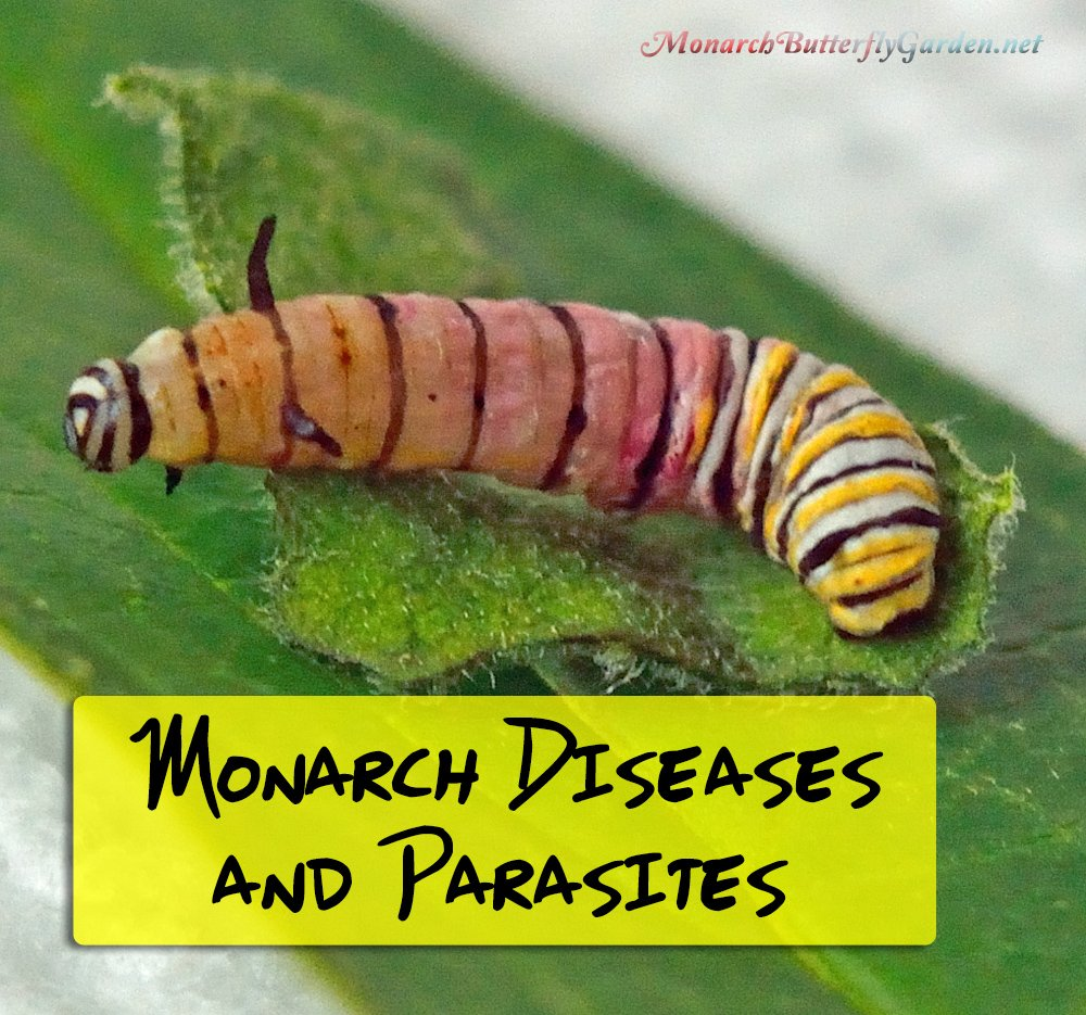 7 Common Monarch Diseases, Parasites, and Caterpillar Killers + How to Prevent them