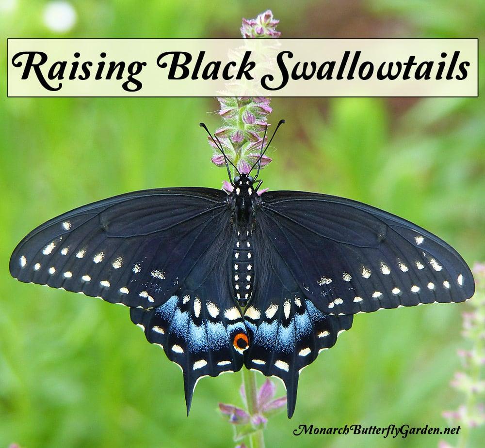 Adventures in Raising the Eastern Black Swallowtail Butterfly Black Swallowtail Caterpillar