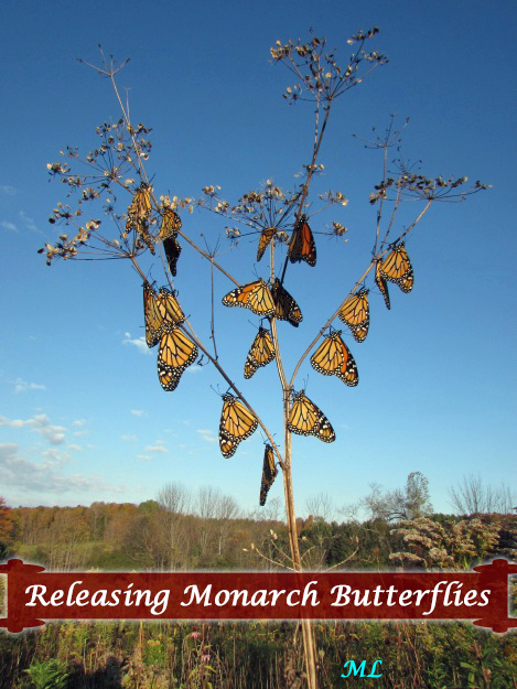 How to Release Monarch Butterflies- predator-free tree branches are a good place to let them finish drying their wings, but there's a better way to keep them safe...