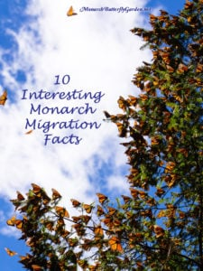 Do you know these 10 interesting facts about the annual monarch migration?