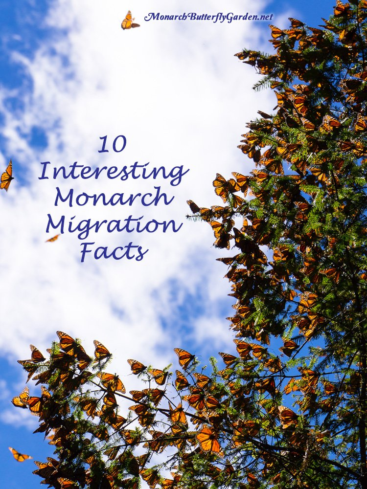 Do you know these 10 interesting facts about fall's annual monarch migration?