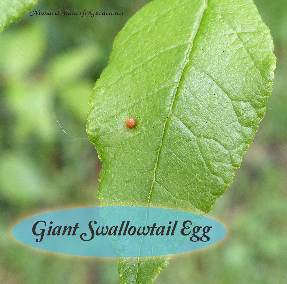 Giant Swallowtail eggs are some of the easiest butterfly eggs to find with orange against a contrasting green background. Find out how to raise these eggs into beautiful giant swallowtail butterflies.