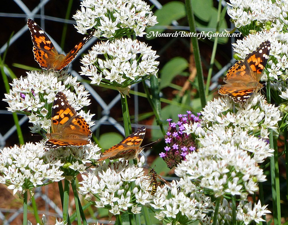 Garlic chives are a nectar rich perennial that support a plethora of pollinators including many bees and butterflies. Discover more of the best plants for supporting late summer and fall pollinators...