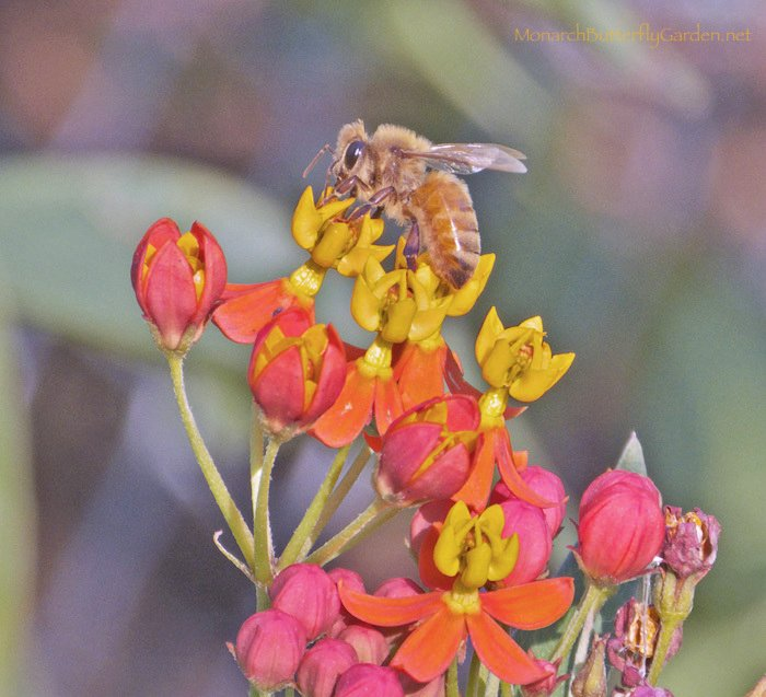 Tropical milkweed is the only milkweed variety that can support honey bees and other hungry fall pollinators.