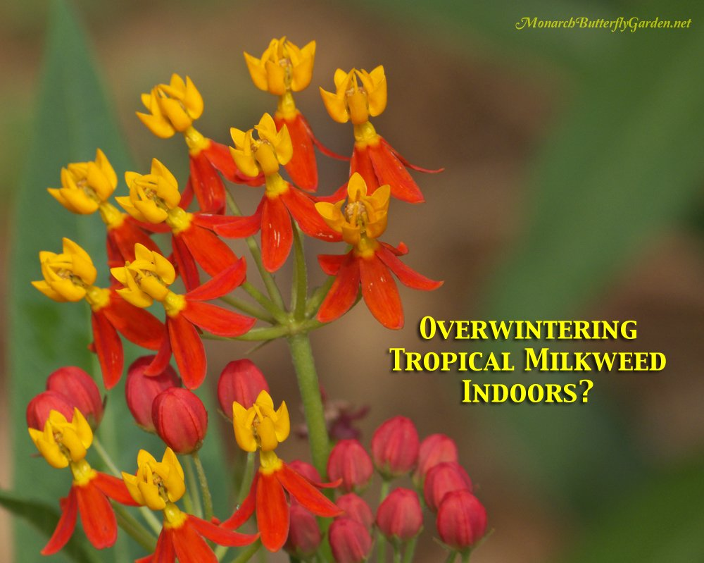 Tropical milkweed plants are a good choice for overwintering indoors because you can take stem cuttings to produce new milkweed plants in the dead of winter or early next spring.