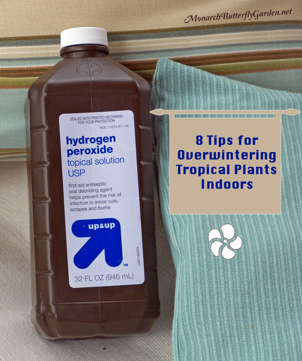 Use a hydrogen peroxide mix for stopping fungus gnat infestations before they begin- Overwintering Tropical Plants Indoors