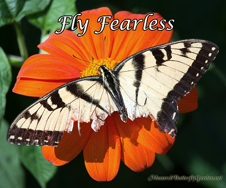 A tattered and torn Tiger Swallowtail Butterfly shows us how to remain Fearless in the face of adversity- Inspirational Butterfly Photo