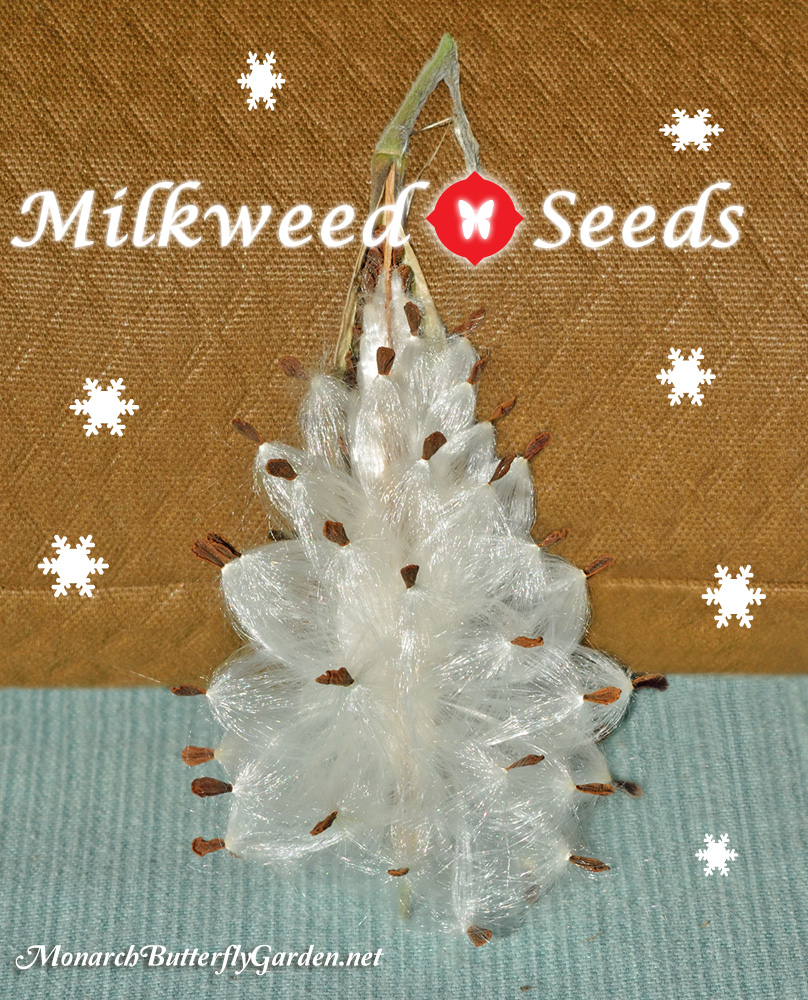 Milkweed Seeds to plant for Monarch Butterflies and Caterpillars- Gift Ideas for Butterfly Lovers