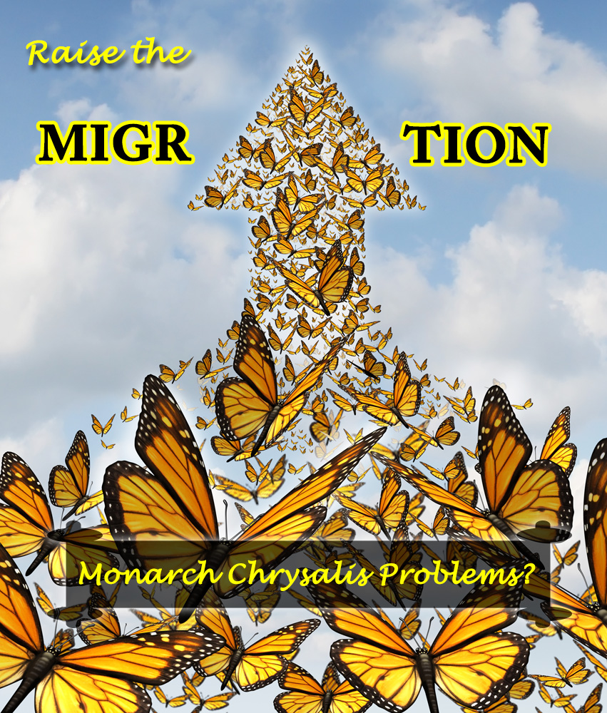 Monarch Chrysalis Problems and Normal Development- Raise the Migration 2019
