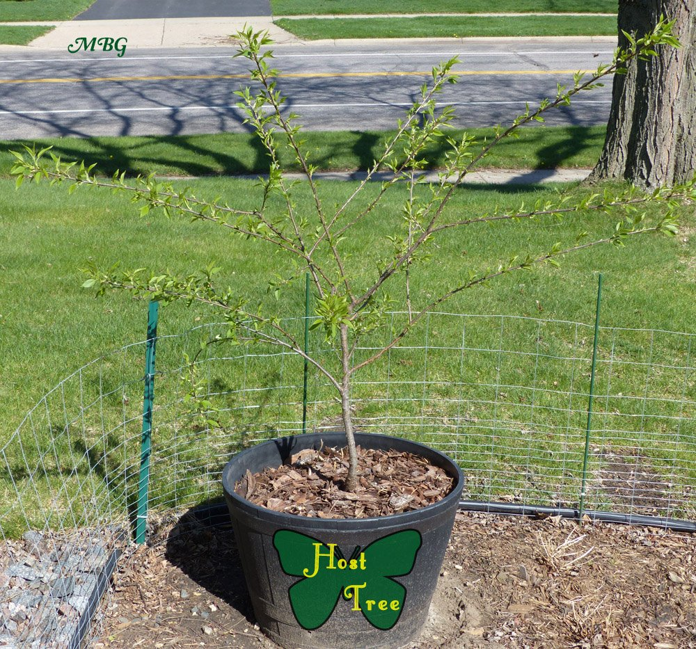 Last winter, we protected our potted black cherry tree from a Minnesota winter by putting a fence around it and filling in the gaps with leaf insulation. The tree survived and should be a popular host plant for spring and summer butterflies.