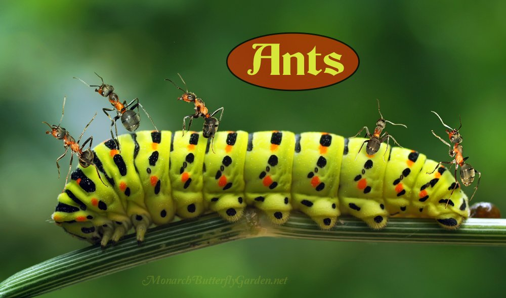 Ants are a common predator in the butterfly garden feeding on butterfly eggs and caterpillars. So what can you do to stop them? Here a re a few ideas...