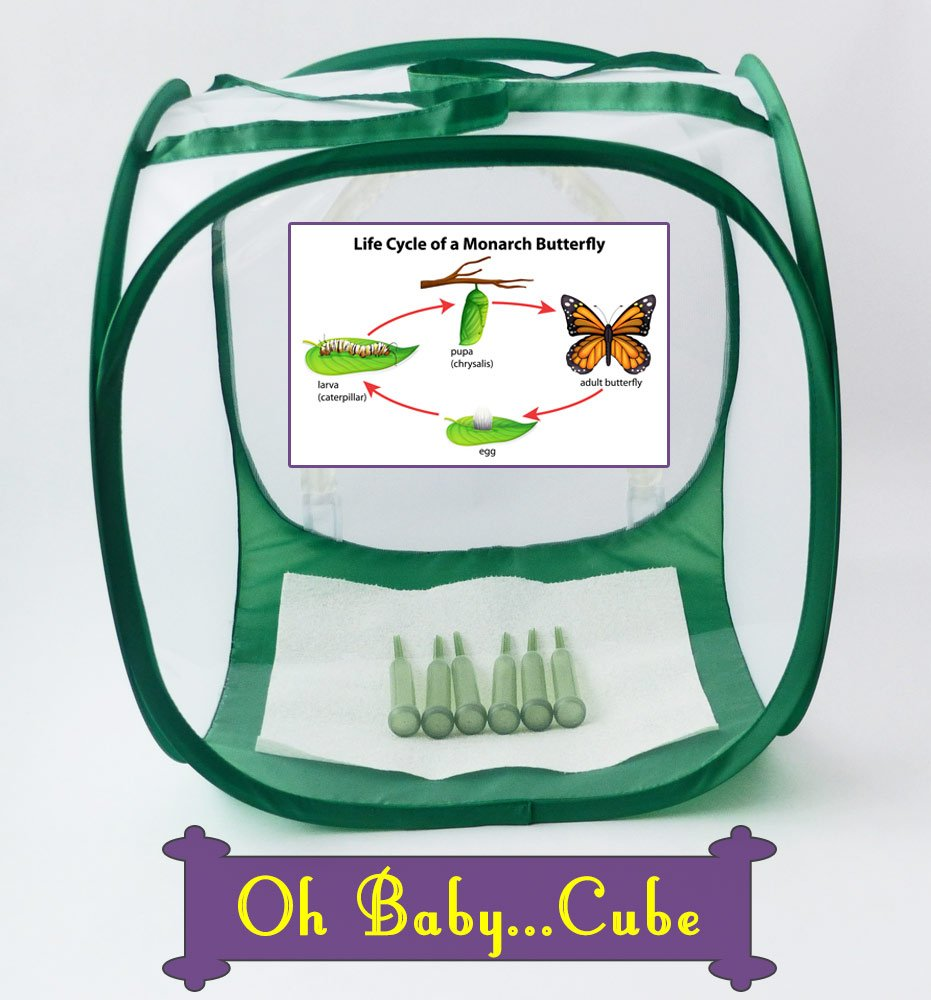 Raise Monarch Butterflies through the entire butterfly Life Cycle in the Baby Cube Cage with 6 floral tubes included to keep milkweed fresh, so you don't have to work as hard.