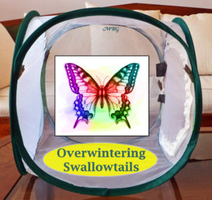 How to successfully overwinter a swallowtail chrysalis so a butterfly will emerge next spring.