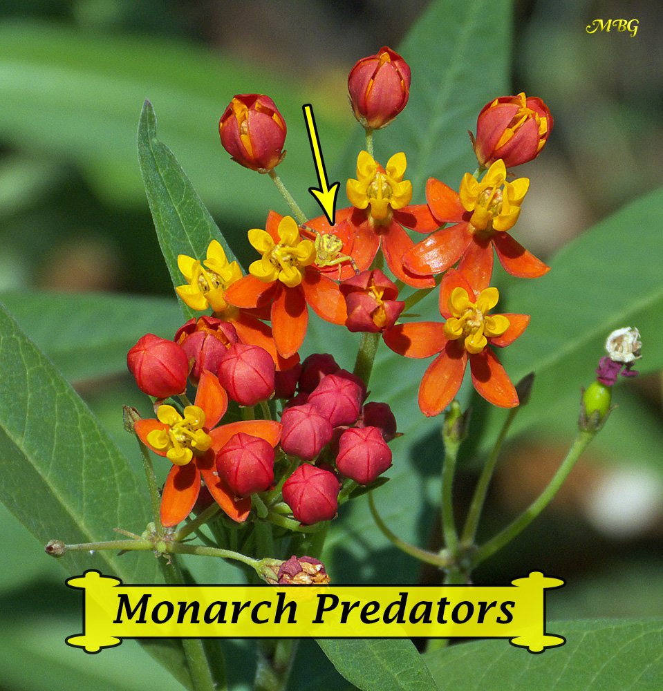 There Is A Long And Growing List Of Monarch Predators In The Erfly Garden Like