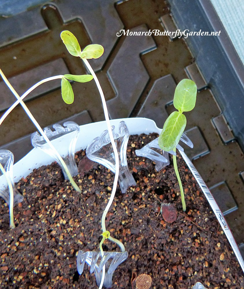 Are your Seedlings getting too leggy and falling down? Prop them up WITHOUT tying them up using plastic forks.