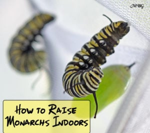 How to Raise Monarch Butterflies Indoors: 21 Monarch Survival Tips