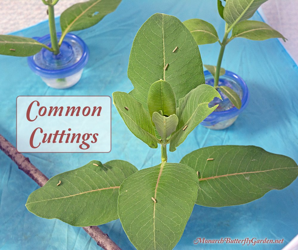 Use stem cuttings to keep milkweed fresh for days when raising monarch butterflies inside.