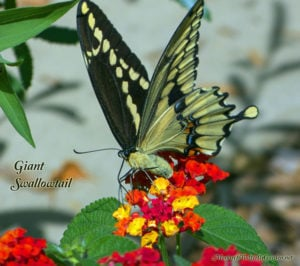 Giant Swallowtail Spreads Excitement North