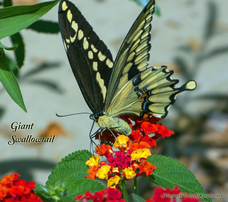 Attirant Giant Swallowtails Are Expanding Their Territory North Into The Northern  U.S. And Even Canada. Which