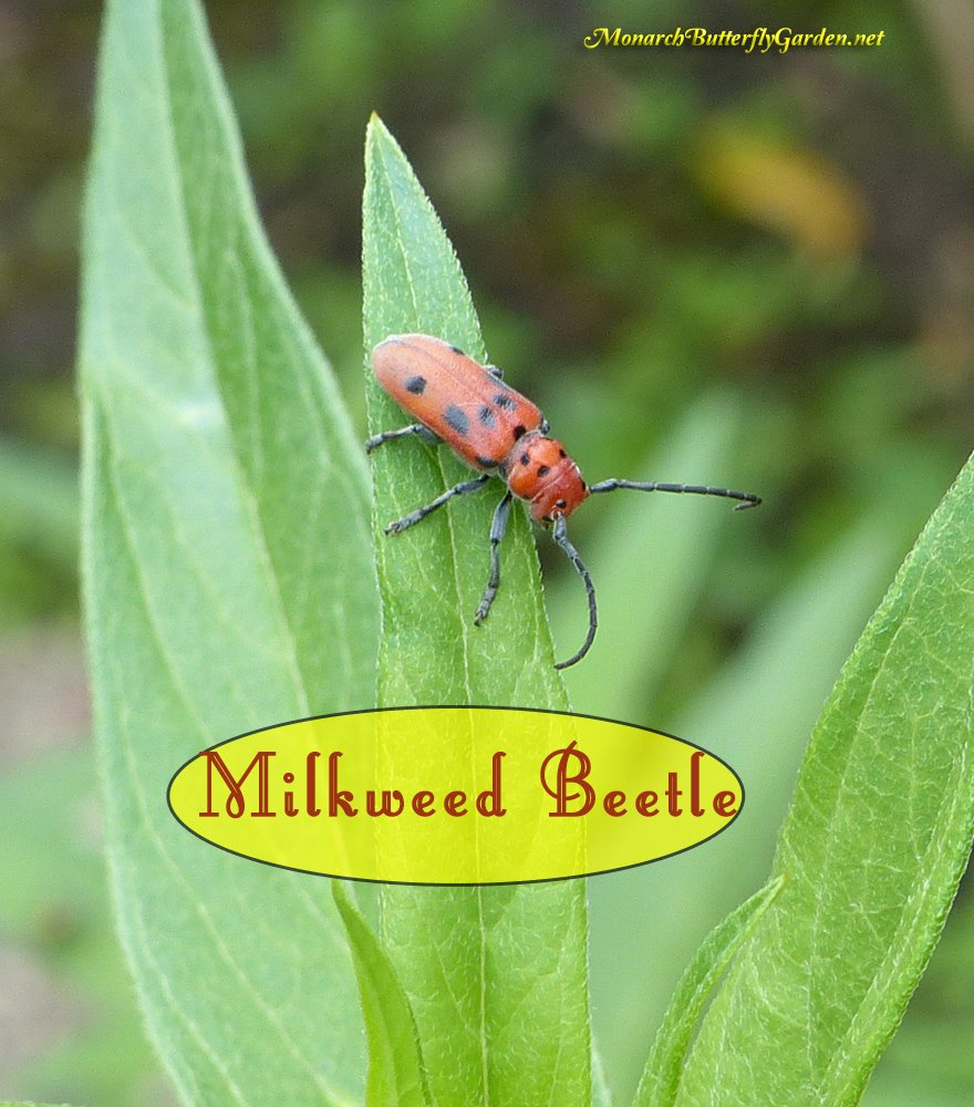 Milkweed Beetles are garden herbivores that feast primarily on milkweed plants, but are they a milkweed pest?