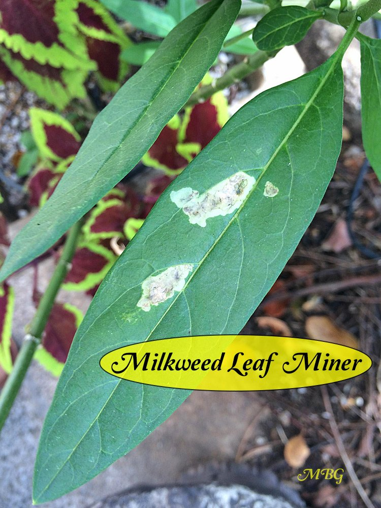 Milkweed Leaf Miner Damage- as the small fly larvae eat the milkweed, the leaves will not be suitable for monarch caterpillars. What can you do to stop the mining from spreading?