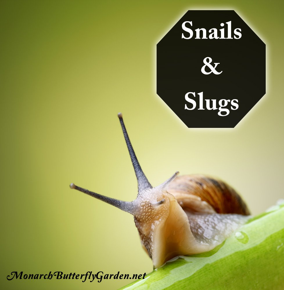 Some gardeners ranks snails as their worst milkweed pests. Here's how you can stop them while keeping your kids, pets, and monarch caterpillars safe...